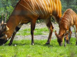 Dublin-Zoo-Bongo