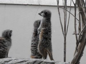 Dublin-Zoo-Meerkats